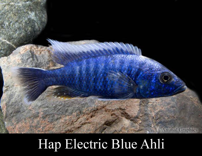 Hap Red Fin Borleyi , 2? Hap Electric Blue Ahlis
